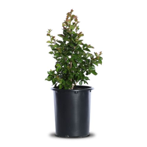young crape myrtle tree in 5 gallon bucket